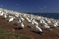 Northern Gannets colony